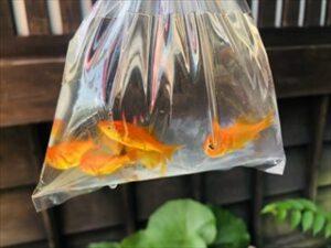 金魚 水 袋
